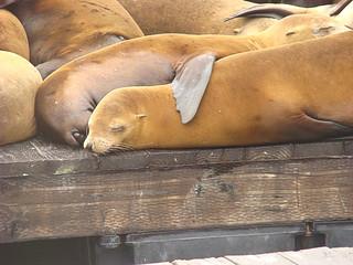 007 Zeeleeuwen bij Pier 39