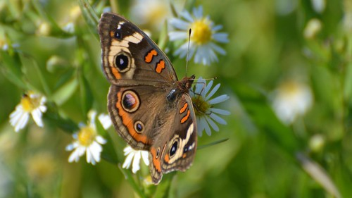 Common Buckeye on native aster