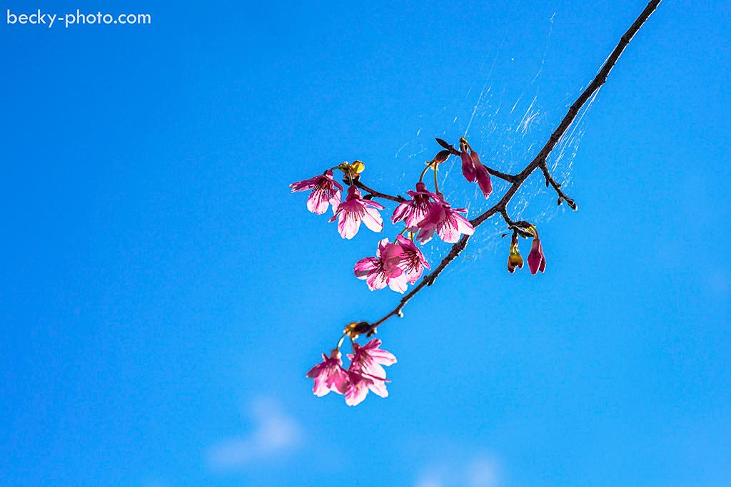 2015.Feb sakura @Sanxia 花岩山林