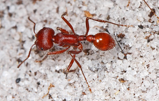 Florida Harvester Ant - Pogonomyrmex badius, Lake June-in-Winter Scrub State Park, Lake Placid, Florida | by judygva