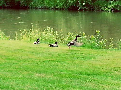 Three ducks were napping aside the Big Sioux River in Sioux Falls, just alongside the bike trail through the city.  I snuck up on them, but still managed to stir them up.  The first one takes off... | by Domainer
