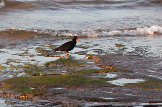 Sooty Oystercatcher | by dmmaus