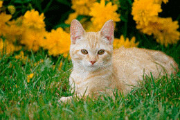 Feline Acne Acne