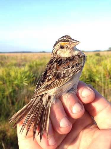 Adult Florida grasshopper sparrow | by USFWS/Southeast