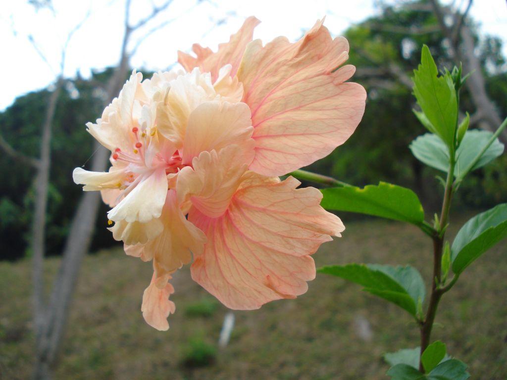 Orange el capitolio hibiscus flower double layer hibiscus flickr orange el capitolio hibiscus flower double layer hibiscus flower by anulals photos izmirmasajfo