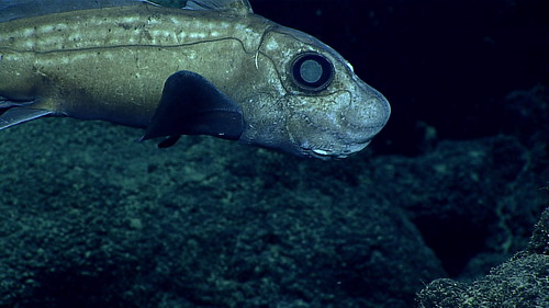 Chimaera this chimaera was seen during a dive on the for Ocean explorer fishing