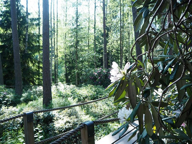 rodoparkhelsinkiP6015595,rodoparkpinkflowersP6015542,rodopuistoP6015517, rhodopuisto, alppiruusupuisto, haaga, huopalahti, helsinki, suomi, finland, visit helsinki, tips, retki, nature, alppiruusu,rhododendron, haaga, rodopuisto, rhododendron park, alppi ruusut, kukat, flowers, haagan alppiruusupuisto, rhodopark, bloom, kukinta, june, kesäkuu, rodo shrubs, flowering time, kukinta aika, männyt, puut, trees, pine treesm