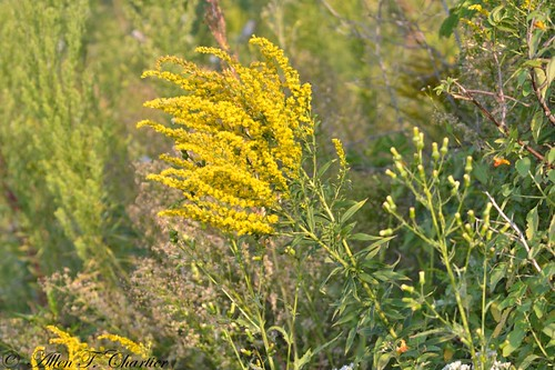 Solidago altissima (Tall Goldenrod)