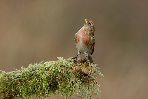 Lesser Redpoll | by Trevsbirds