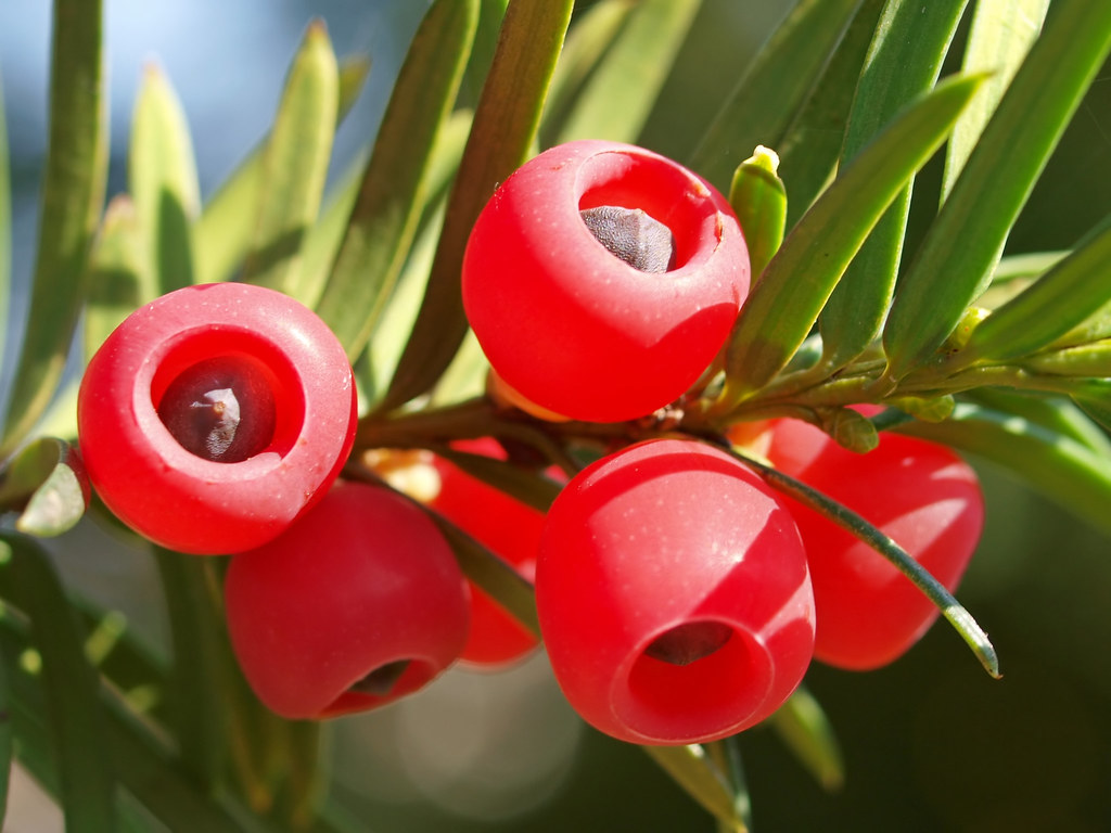 seeds of an european yew this plant taxus baccata belongs flickr
