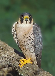 Peregrine Falcon | by andymag
