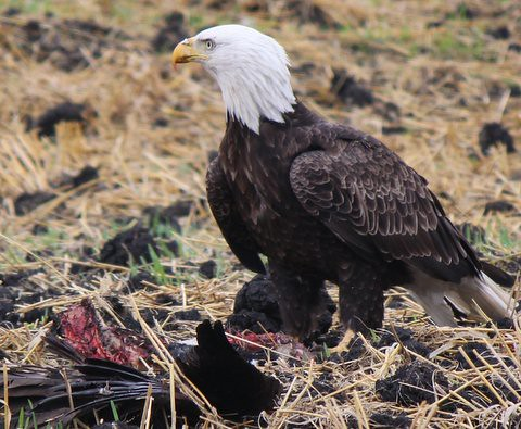 2  FVBEF Photo Contest 2016 | by Fraser Valley Bald Eagle Festival