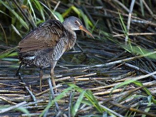 Clapper Rail | by Brian E Kushner