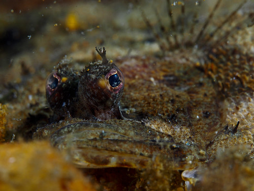 topknot flatfish - Island of yell, Shetland | by peskynewt