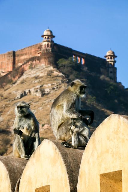 Monkeys in Amber Fort, Jaipur, India ジャイプール、アンベール城の猿