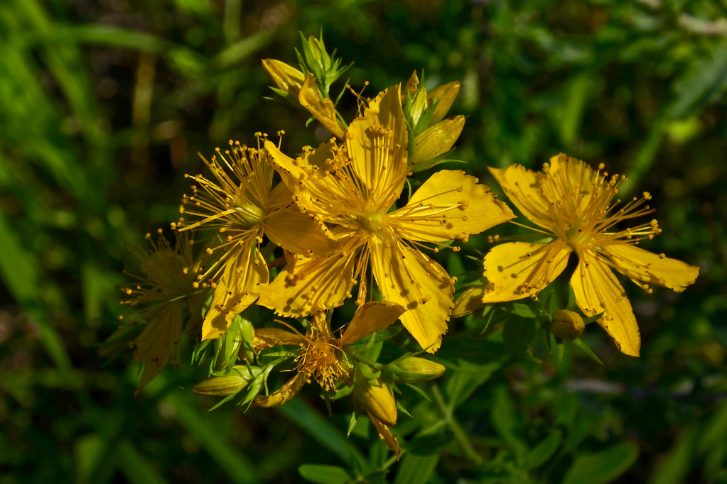 Common St. Johnswort, Klamath weed