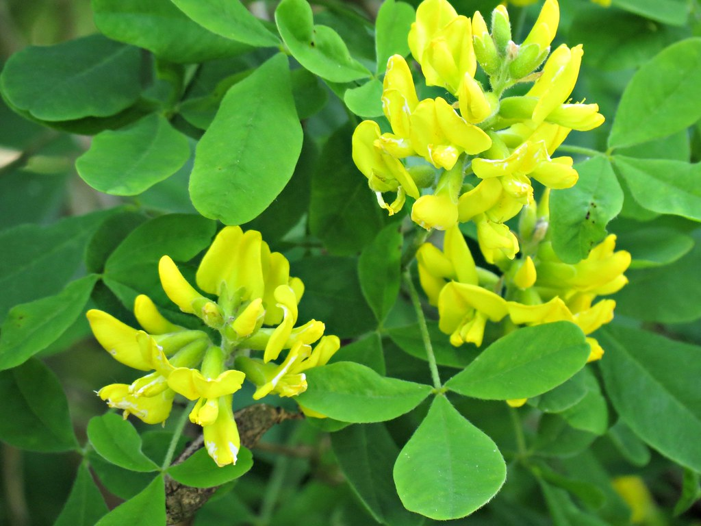 Yellow Flowers Of The Fabaceae Family Big Shrub Belgium Flickr