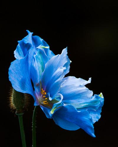 Голубые розы фото картинки