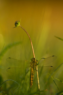 orthetrum ... | by olivier rick
