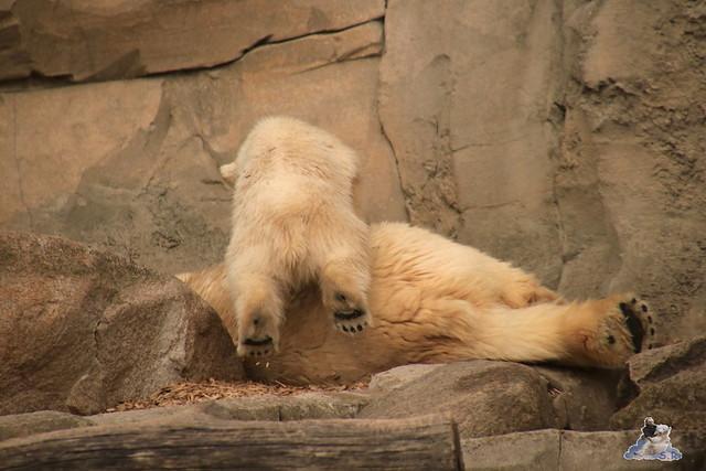 Eisbär Lili im Zoo am Meer 15.05.2016  202