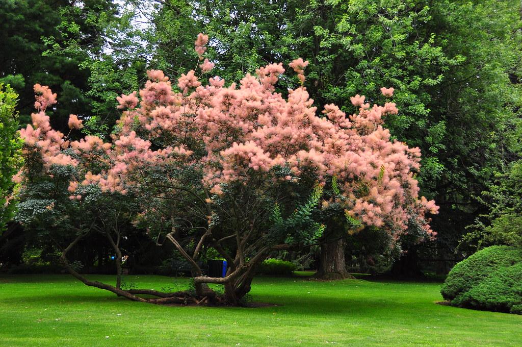 Pink fluffy flower tree jeanl140 flickr pink fluffy flower tree by jeanl140 mightylinksfo