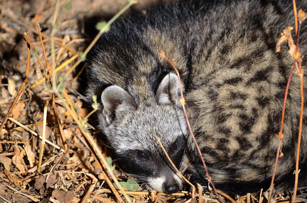 Baby Civet-Cat