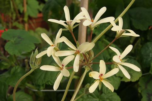 Pelargonium hirtipetalum