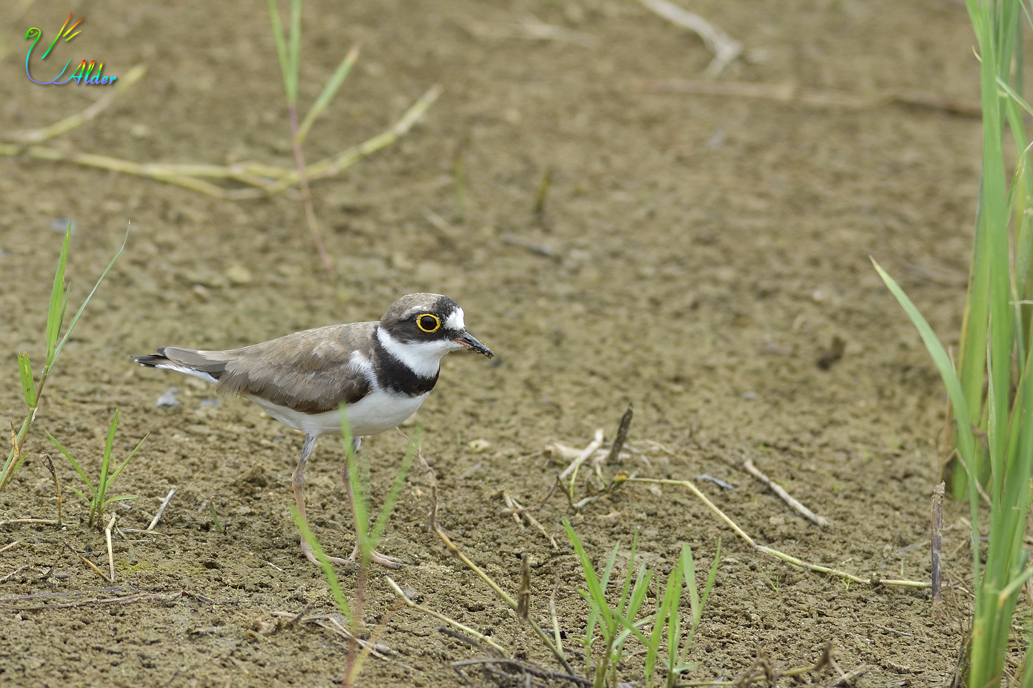 Little_Ringed_Plover_0610