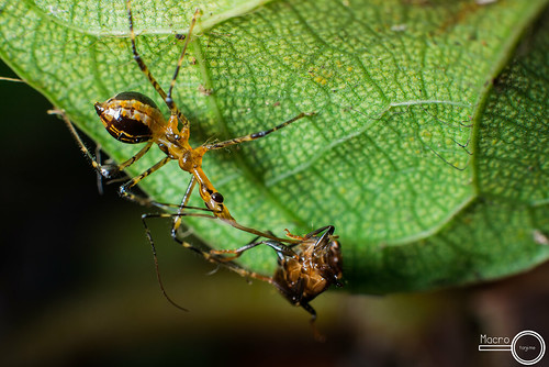 Assassin bug assasinating | by PF T.J.