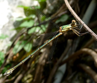 Lestes viridis. Willow Emerald Damselfly. | by gailhampshire