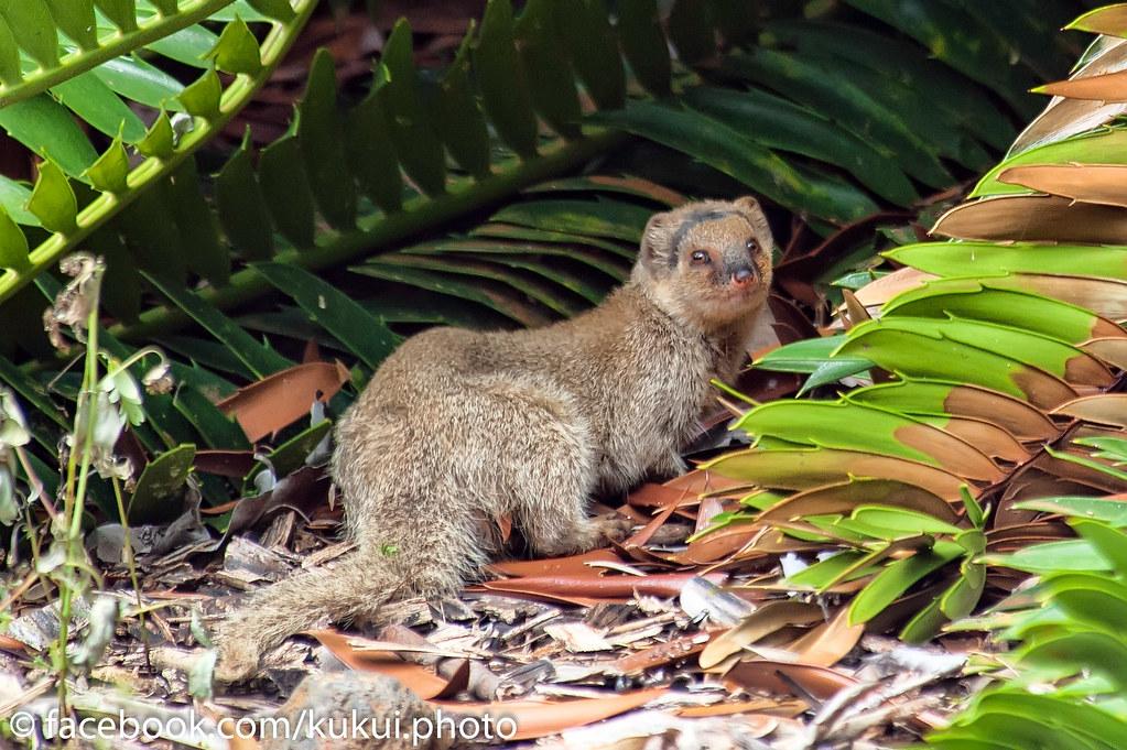 ... Mongoose At Koko Crater Botanical Garden | By Kukui Photography