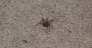Brown Recluse Spiders Found in Apartment Home | by KOMUnews