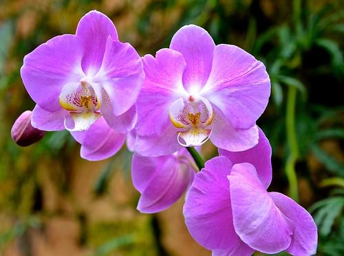 Violet Orchids Explore 334 14 Lincoln Park Conservato