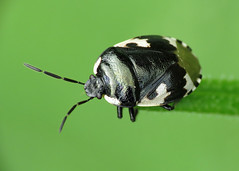 Pied Shieldbug - Tritomegas bicolor