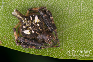 Orb Web Spider (Eriovixia sp.) - DSC_5014