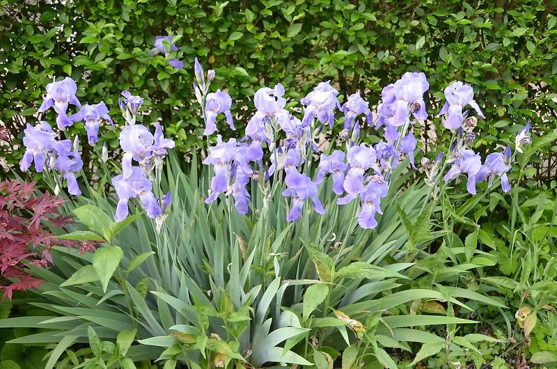 Iris 27.05 (2)