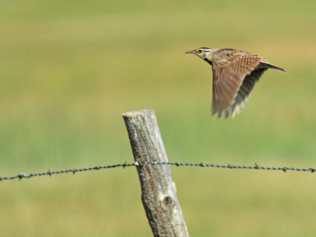 Western Meadowlark 02-20160618