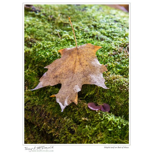 Maple Leaf on Bed of Moss | by Terry McDonald - www.luxborealis.com