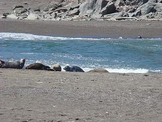 073 Zeehonden bij Goat Rock State Beach
