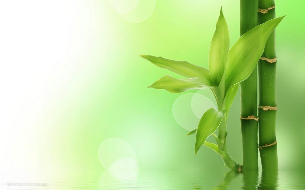 Bamboo Tree Wallpapers Hd 1 M D Flickr