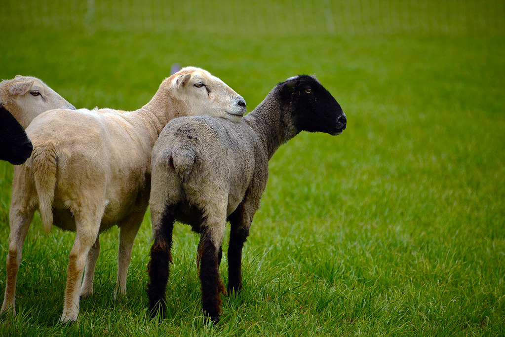 CT Sheep and Wool Festival | photographics@snet net | Flickr