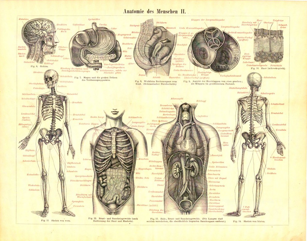 1895 Double-Sided Antique Print-HUMAN ANATOMY-ORGANS-SKELE… | Flickr