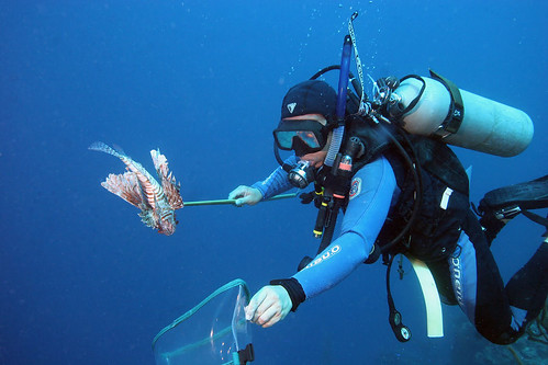 Hunting lionfish | by Oregon State University
