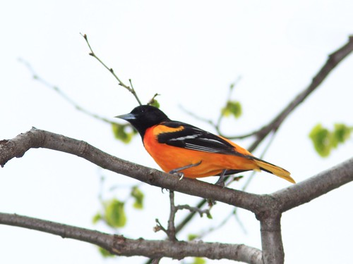 Baltimore Oriole 20140512