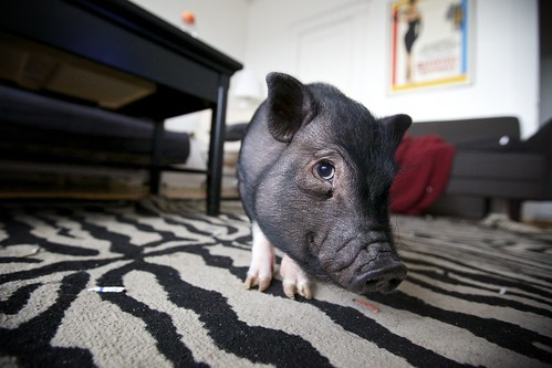 Meet Puddle - only teacup pig I ever met | by Vjeran Pavic