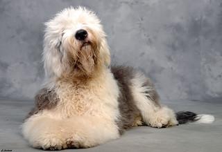 Old english Sheepdog, ...