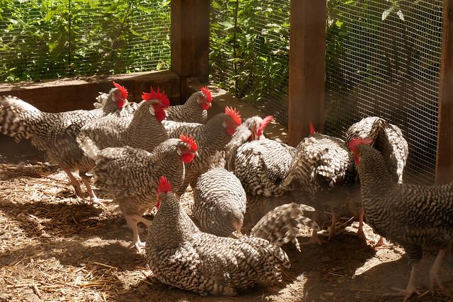 Domäne Dahlem: Chickens!