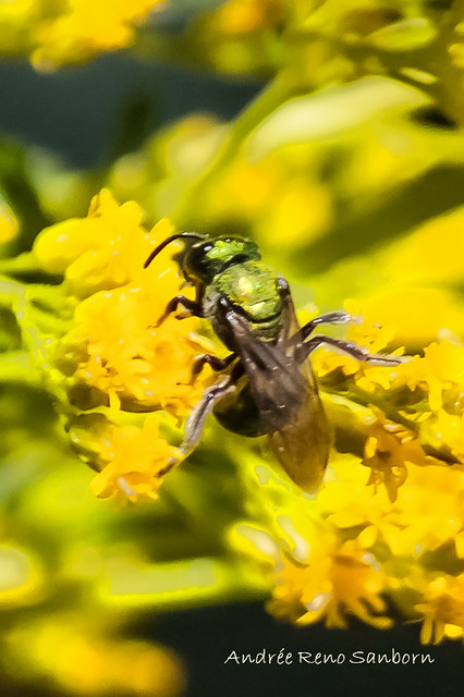 Sweat Bee (Augochlora pura)