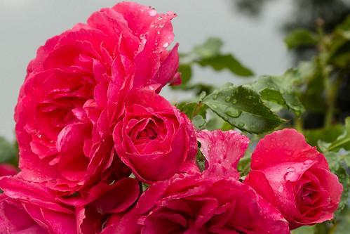 rote rosen rote rosen karsten m ller flickr. Black Bedroom Furniture Sets. Home Design Ideas