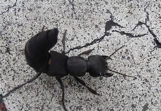 schwarzer moderk fer devil 39 s coach horse ocypus olens. Black Bedroom Furniture Sets. Home Design Ideas